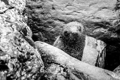 Seal of Disapproval. Outside of Kaikoura, New Zealand, a Seal inspects the strange human taking photos Stock Image