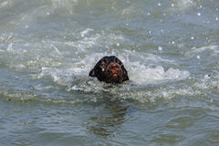 Seal or dog into the sea. Royalty Free Stock Images