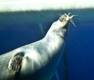 Seal eating fish in the water Royalty Free Stock Images