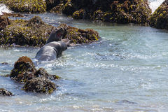 Seal Elephants Stock Images