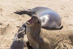 Seal Elephants Stock Photos
