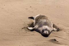 Seal Elephants Royalty Free Stock Photos