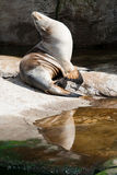 Seal enjoing the sun Stock Photography
