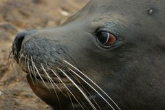 Seal Eyes. A California Sea Lion with unique eyes stares into the distance Stock Image