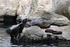Seal family Royalty Free Stock Photos