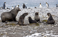 Seal family. In front of penguins on the beach in South Gerogia royalty free stock photos