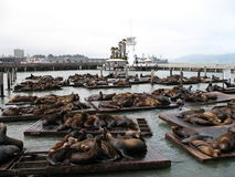 Seal family. Relaxing in San Francisco harbour stock image