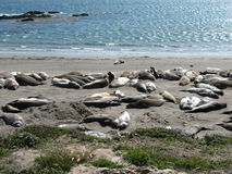 Seal family. Relaxing at the California beach royalty free stock photography