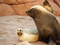 Seal family on beach at Point Labatt Royalty Free Stock Photo