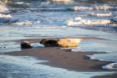 Seal family resting. On a beach in Denmark stock photos