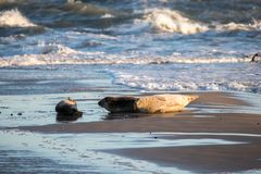 Seal family resting. On a beach in Denmark stock photography