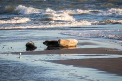 Seal family resting. On a beach in Denmark stock image