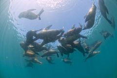 Seal family sea lion underwater looking at you. Group of sea lion underwater in Baja California royalty free stock photography
