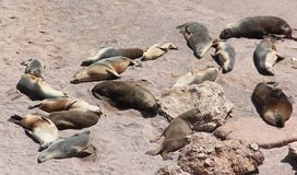 Seal Family. Laying in the sun stock image