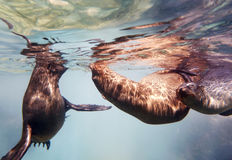 Seal Family. A family of Seals in the Sea of Cortez, Mexico stock photography