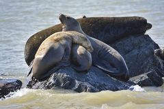 A seal family is sleeping on the rock. In the sea royalty free stock photo