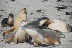 Seal. Family stay on beach royalty free stock photo