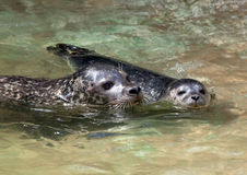 Seal family swimming. Closeup of a mother and baby seal swimming stock photography