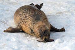 Seal Feeding Stock Photo