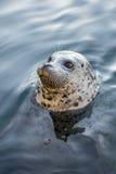 Seal at Fisherman's Wharf, Victoria, BC. Canada Royalty Free Stock Photos
