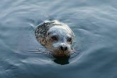 Seal at Fisherman's Wharf, Victoria, BC. Canada Royalty Free Stock Photo