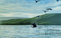 Seal fishing birds stealing Stock Images
