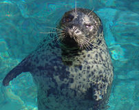 Seal Floating. In ocean royalty free stock photography