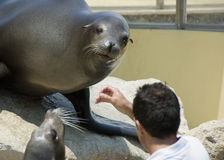 Seal food. A seal being fed at the zoo Royalty Free Stock Photography