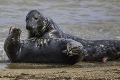 Seal Foreplay Stock Image