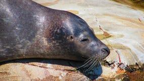 Seal at the Frankfurt Zoo stock image