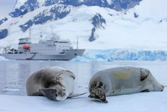 Seal in front of ship, boat, Antarctic Peninsula. Antarctica stock photography