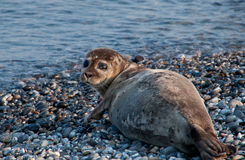 Seal on the German island Helgoland Royalty Free Stock Photos