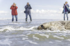 Seal gets released. Picture taken on Ameland, Netherlands. Seal got released after recovering in a shelter Royalty Free Stock Photo