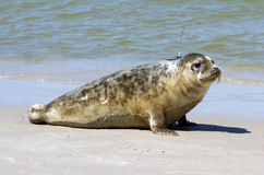 Seal grey. The grey seal on the beach Royalty Free Stock Images