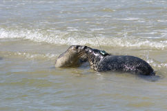 Seal grey. The grey seal on the beach Royalty Free Stock Photo