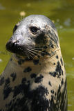 Seal (Halichoerus grypus grypus) Royalty Free Stock Photo