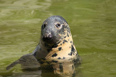 Seal (Halichoerus grypus grypus) Stock Photos