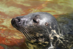 Seal (Halichoerus grypus grypus) Royalty Free Stock Images