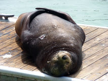 Seal in harbour. Sleeping seal on the peer in San Francisco Royalty Free Stock Images