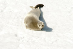 Seal - Harpe Seal Royalty Free Stock Photo