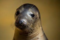 Seal head closeup at seal sanctuary Royalty Free Stock Photography