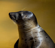 Seal head profile at seal sanctuary. Profile of rescued seal ln pool at seal sanctuary,Mablethorpe,Lincolnshire Stock Image