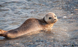 A seal on Helgoland in Germany. The exact name is Halichoerus Grypus. This picture was made on the German island Helgoland. The German name is Kegelrobbe stock image
