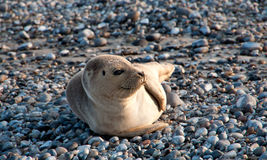 A seal on Helgoland in Germany. The exact name is Halichoerus Grypus. This picture was made on the German island Helgoland. The German name is Kegelrobbe stock photo