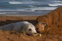 Seal with her pup. Female Seal with her pup at Donna Nook Lincolnshire England Royalty Free Stock Photography