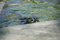Seal hiding Stock Photo