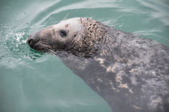 Seal at Howth harbour, Ireland Stock Image