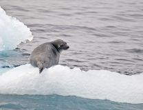 Seal on the ice Royalty Free Stock Photography