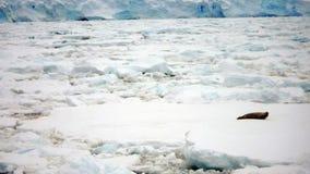 Seal on Ice Floe