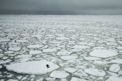 Seal and ice floes. A crabeater seal resting on an ice floe in the semi-frozen Weddel Sea Stock Image
